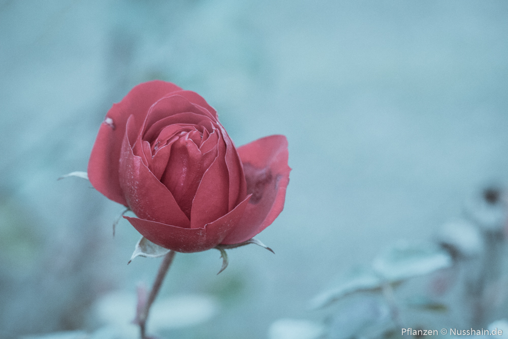 Rote Rose im Winter