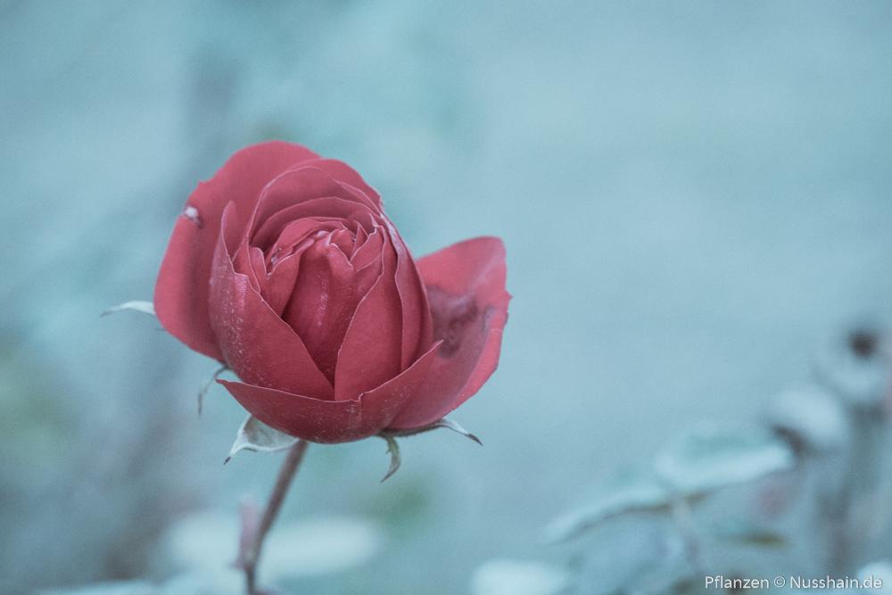 Rote Rose im Winter
