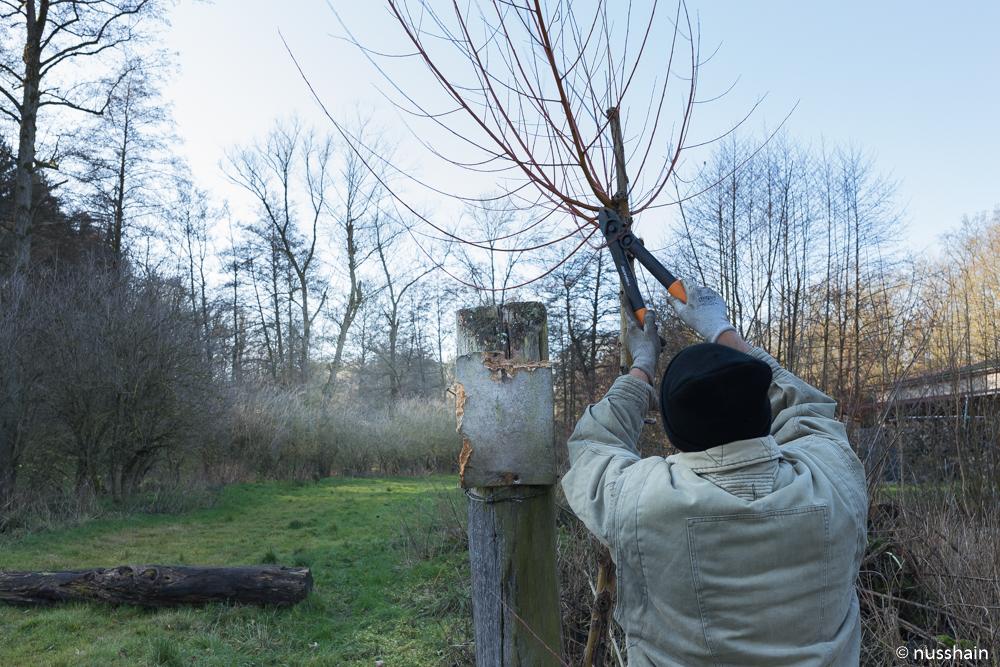Junge Kopfweide wird geschneitelt mit einer Fiskars Amboss Schere.