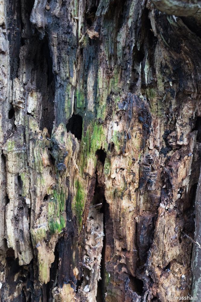 Faulstellen und Höhlen im alten Holz